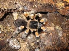 Brachypelma hamorii (bis zur Revision vom Mai 2017, bekannt als Brachypelma smithi)